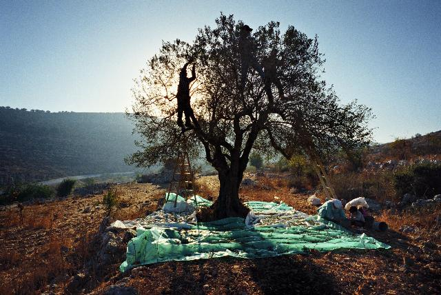 Palestinians pick olives in Attara village during the olive harvest (Palestine, 2007). Rula Halawani was born in 1964 in Jerusalem. She studied photography in Saskatchewan, Canada and for her MA at the University of Westminster, London. A freelance photojournalist from 1990-98, her photographs have appeared in publications in Europe, the USA and the Middle East. They have also been shown in many collective and solo exhibitions, including the 2005 Sharjah Biennal. In September 2008, a major retrospective of her work was held in Brussels as part of the Masarat festival of Palestinian art and culture. She teaches in Birzeit University's Dept. of Photography, which she founded in 2001. Lives and works in Jerusalem.